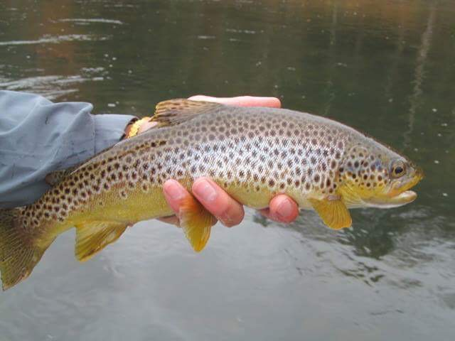 Fall colored Brown trout still finding the net.