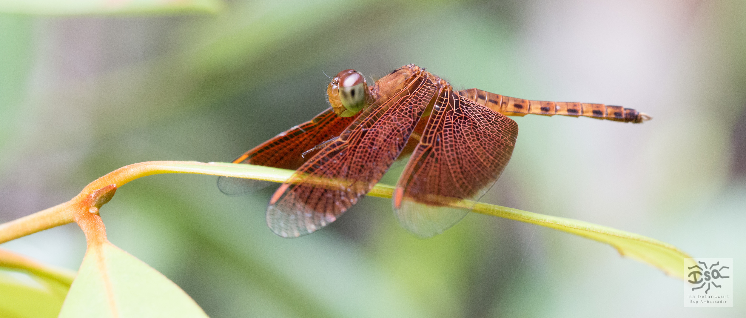 red bornean dragonfly