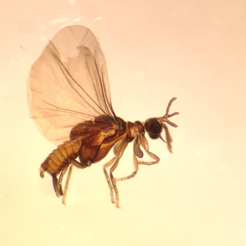 Strepsipteran found in an October sample