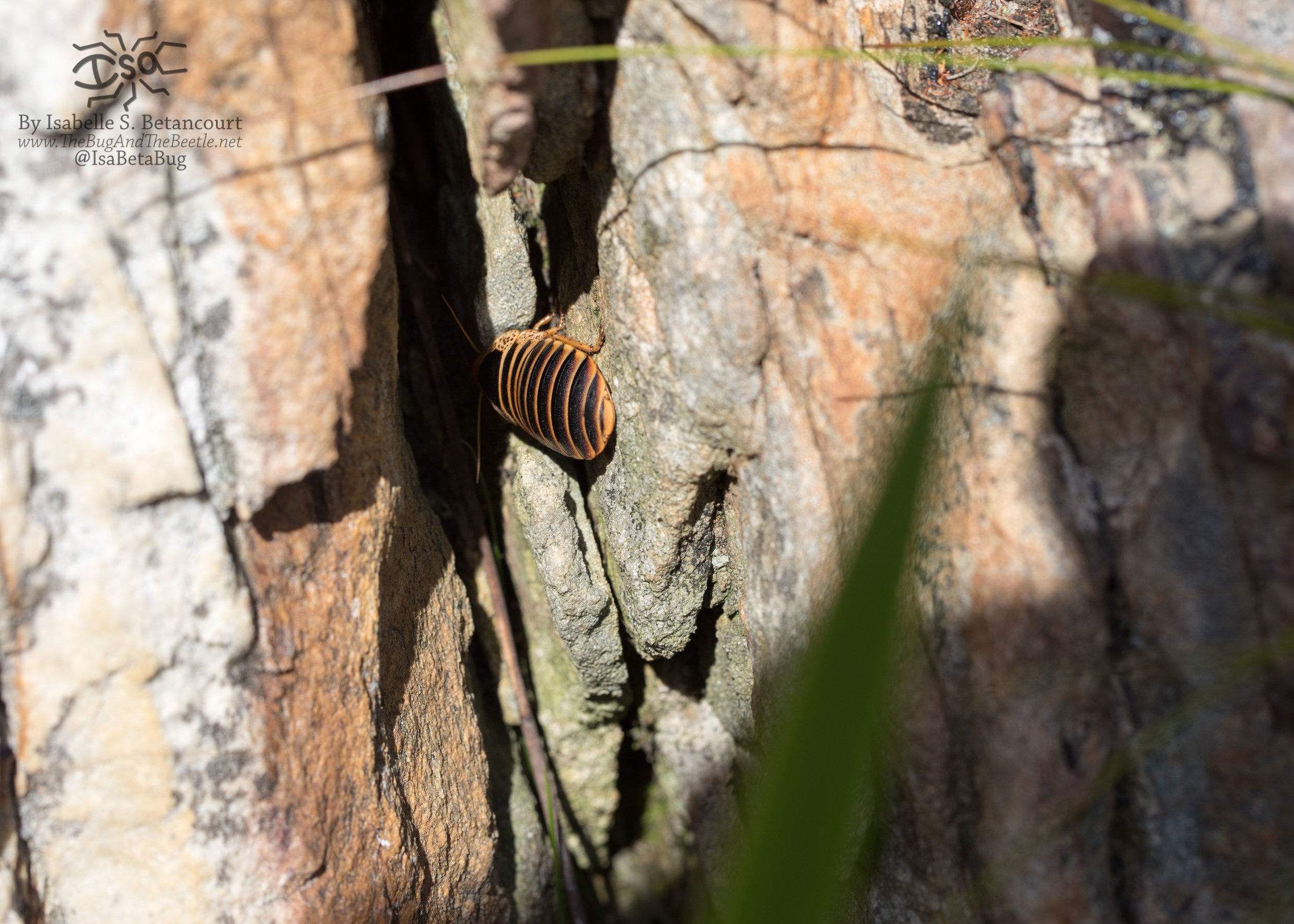 We also found this one between rocks to the side of the trail in Stellenbosch, South Africa. (in situ)