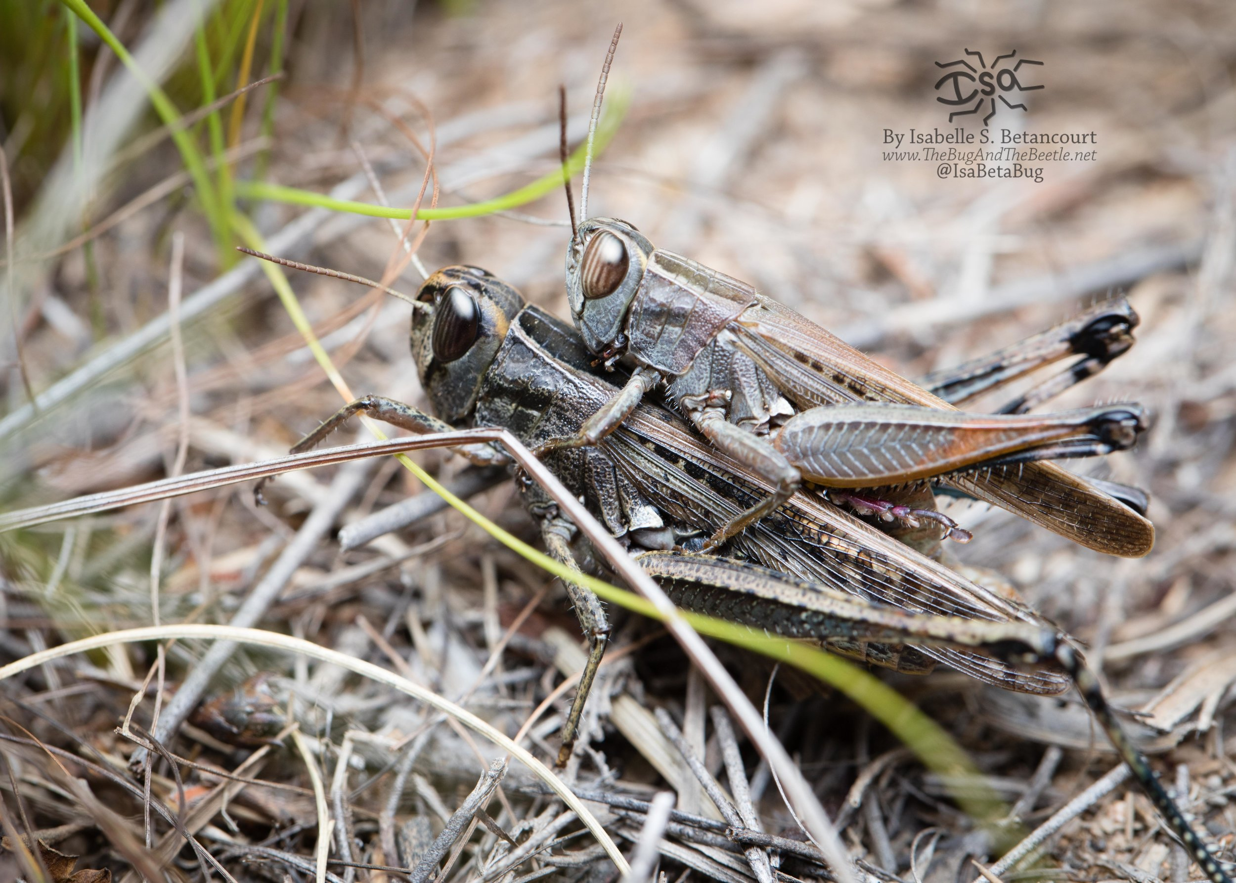 Mating grasshoppers on the side of the Stellenbosch trail. There were two other grasshopper couples right next to these two!