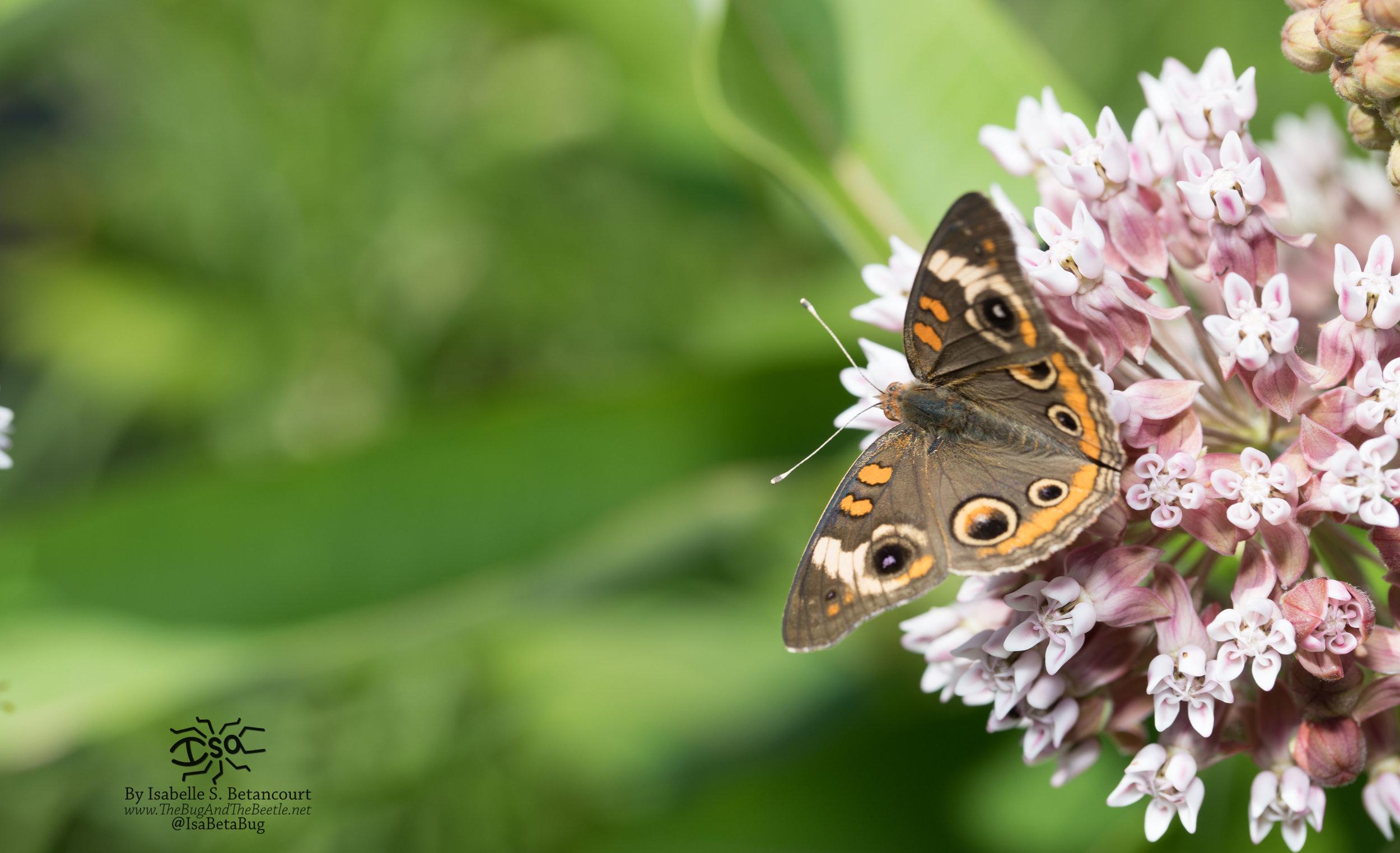 betancourt buckeye butterfly milkweed new jersey