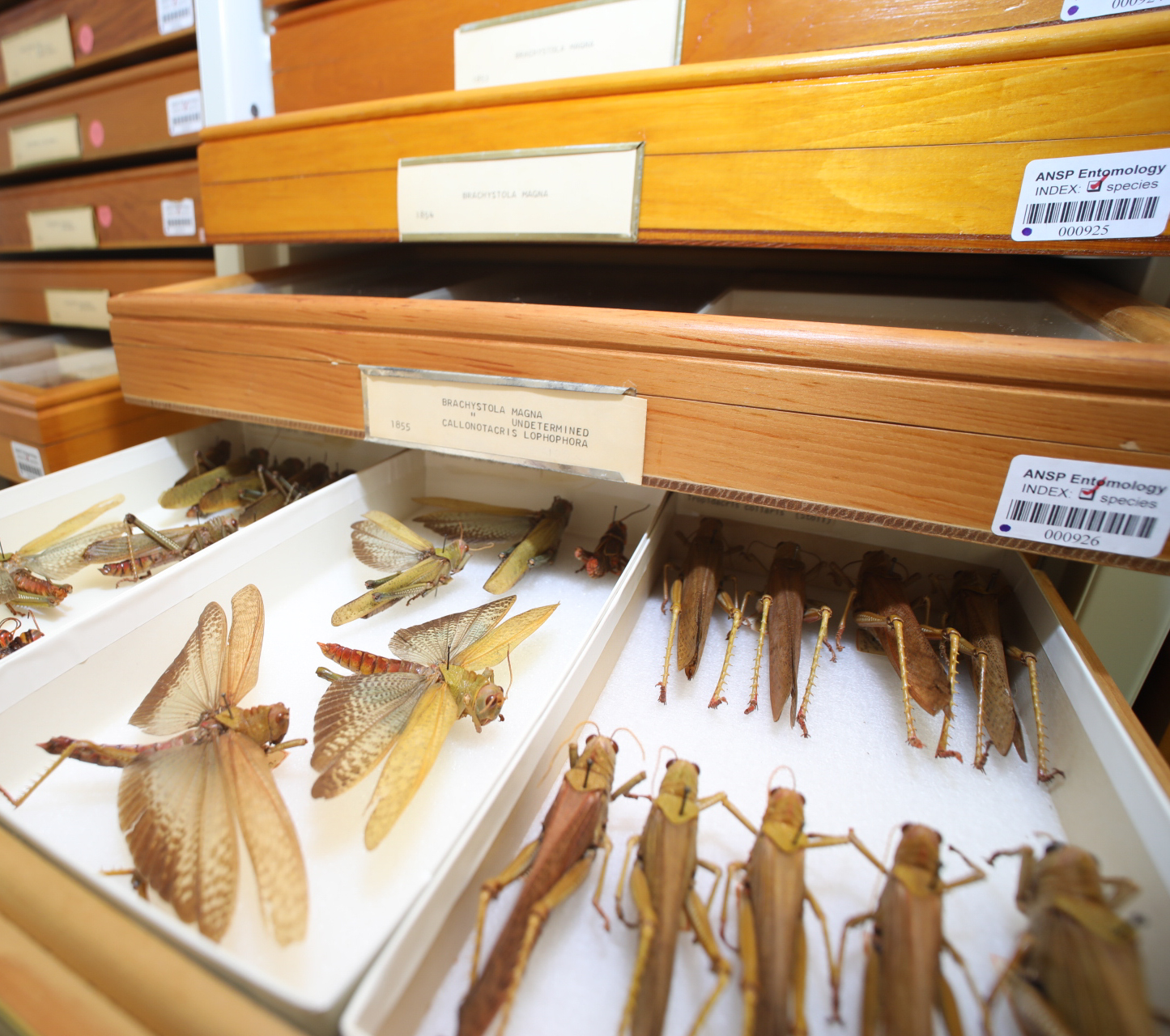 Betancourt_ansp_entomology_orthoptera_drawers