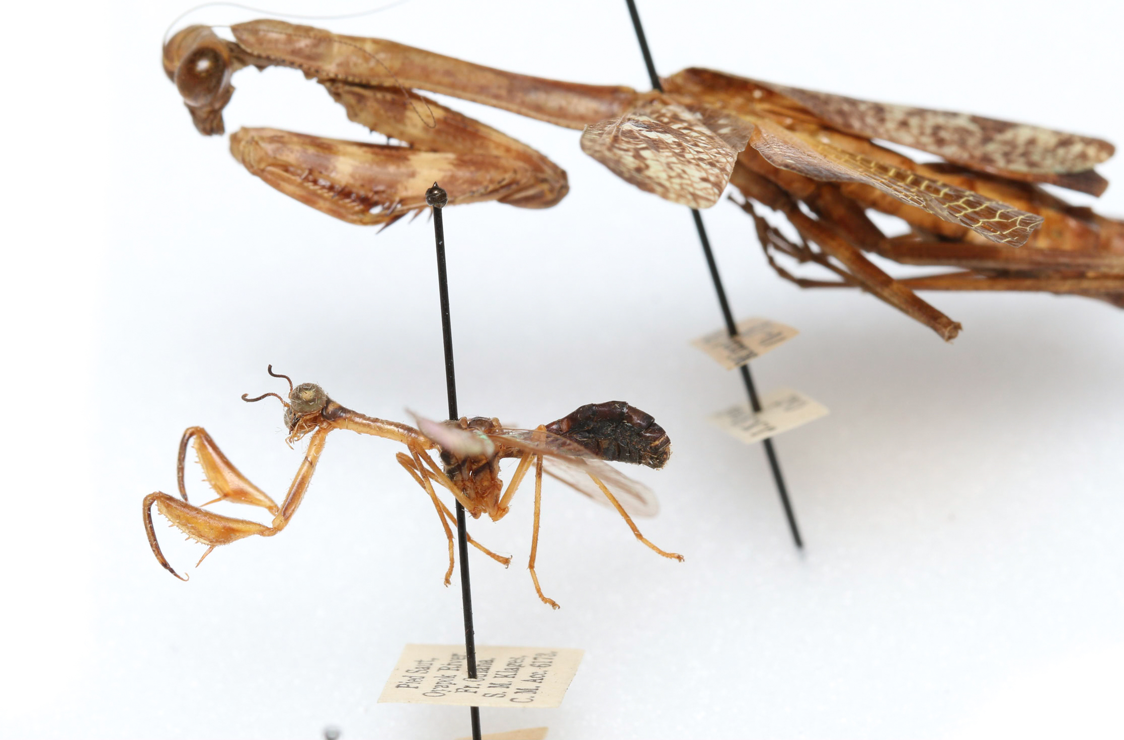 These insect specimens look very similar; Both have raptorial front legs for catching prey. However, they are not closely related. The mantisfly, in the foreground, is in the scientific order, Neuroptera. The praying mantis, in the background, is in the scientific order, Mantodea. They are as related to each other as grasshoppers are related to butterflies. Having insect specimens available to compare with each other is critical for solving entomological problems.