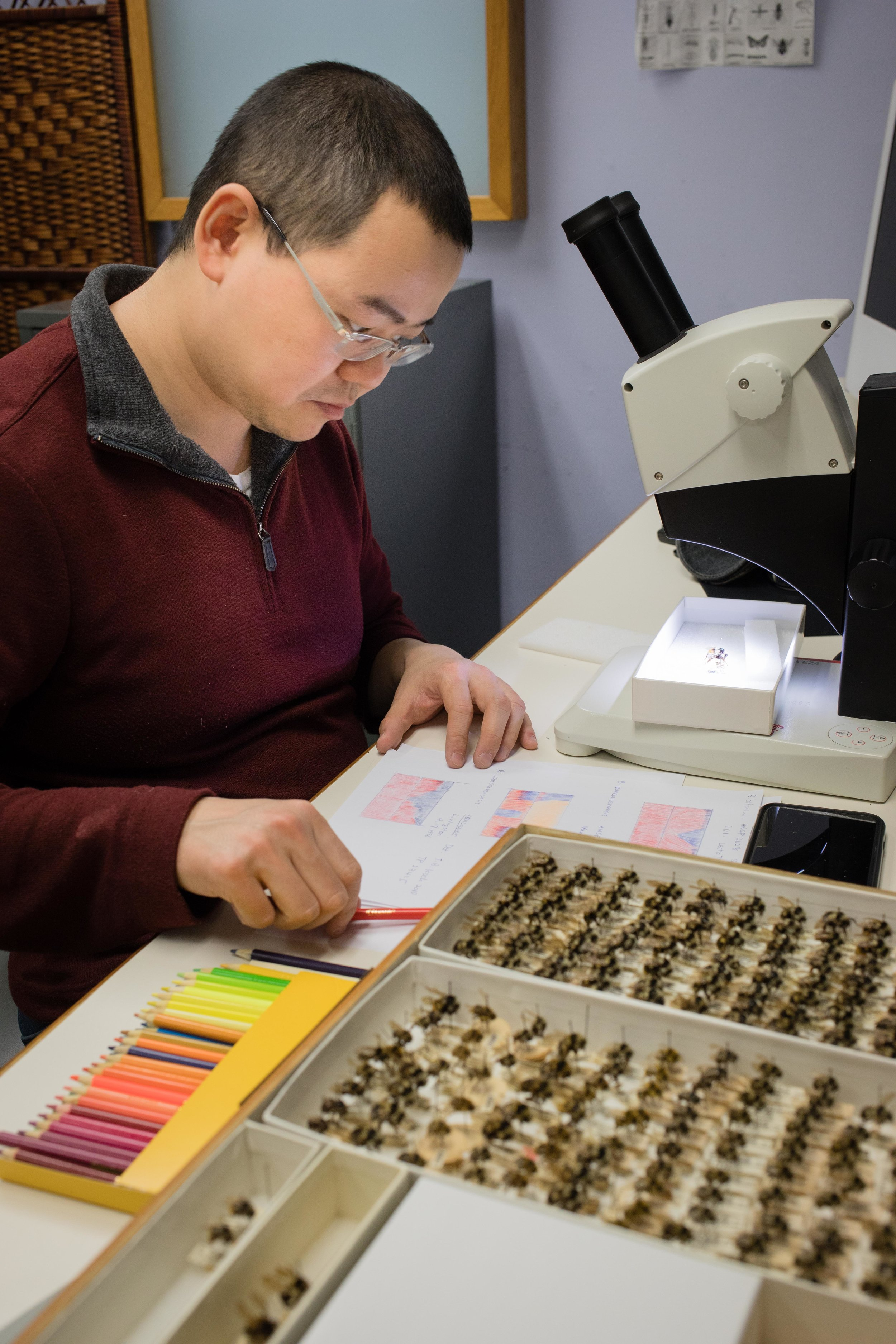 A visiting post-doc researcher from Pennsylvania State University, Dr. Li Tian visit the Academy of Natural Sciences of Drexel University's Entomology Collection for a day to study specimens in the collection. He records the abdominal patterns of several different bumblebee species.