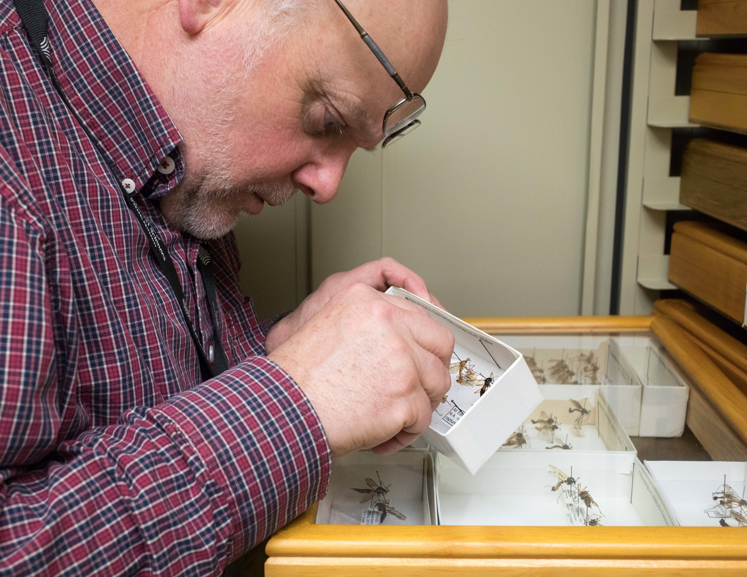 Dr. Jon Gelhaus, Curator of the collection, examines crane fly specimens. He is a world expert on this insect group and has amassed over 10,000 crane flies at the Academy of Natural Sciences.