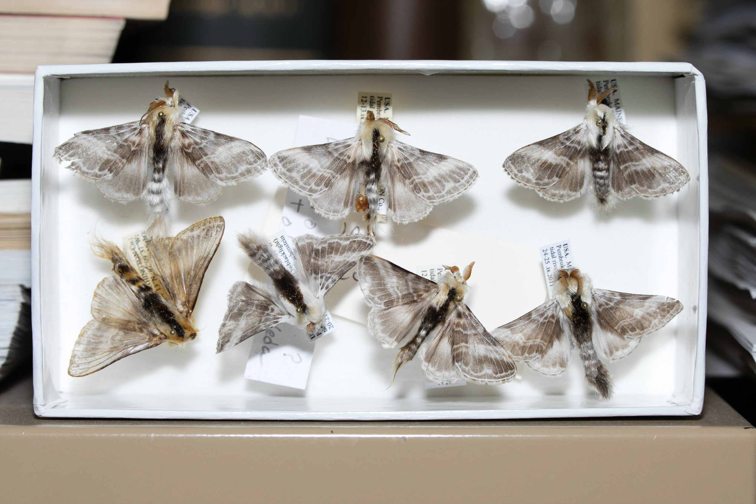 Moth specimens in a foam lined unit tray.