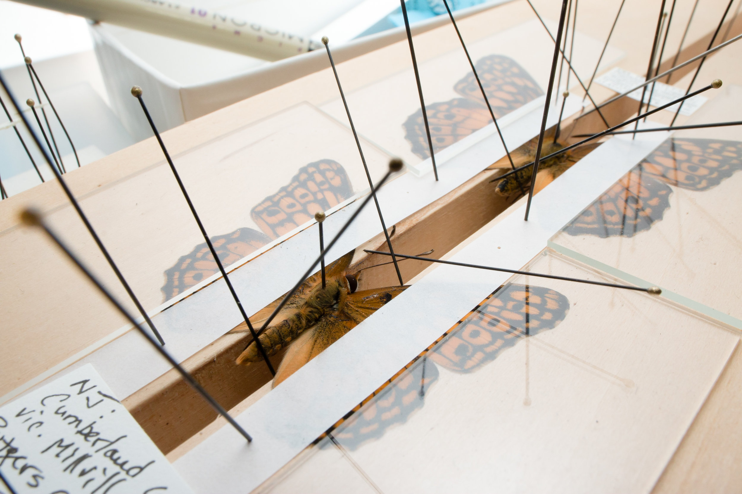 Spreading boards, such as the one here, are used to prepare butterflies and moth specimens for the collection. The wings are spread and left for a few weeks to dry before being taken off the board and put into an insect drawer.