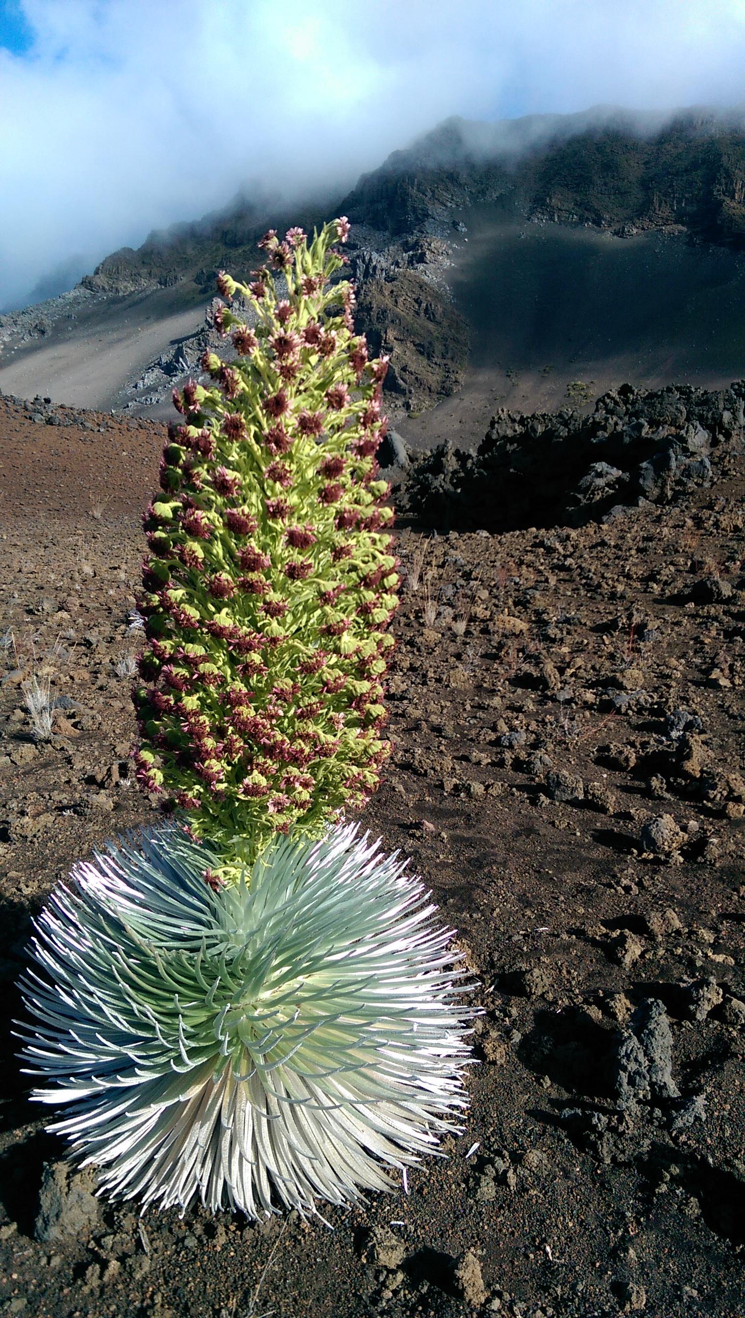 Haleakala Silversword in full bloom. I love this photo.