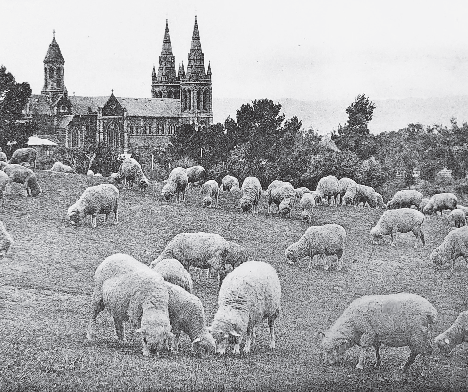 Sheep Grazing in Pennington Tce.png