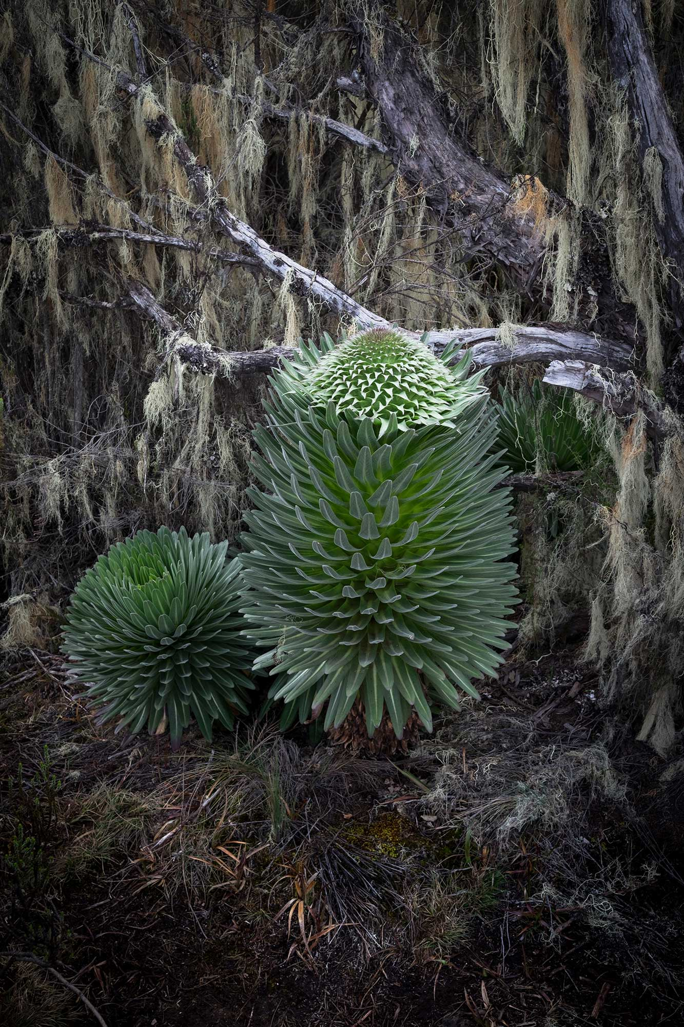 D3-17-unique-plants-of-shira-plateau-kilimanjaro.jpg