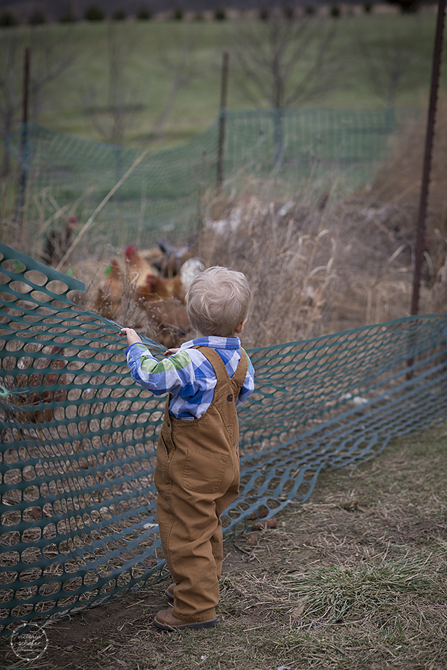 JC is lucky enough to live on a mini farm.  He gets to watch the chickens...and they watch him.  LOL  You should see how they scramble when he walks up to them.