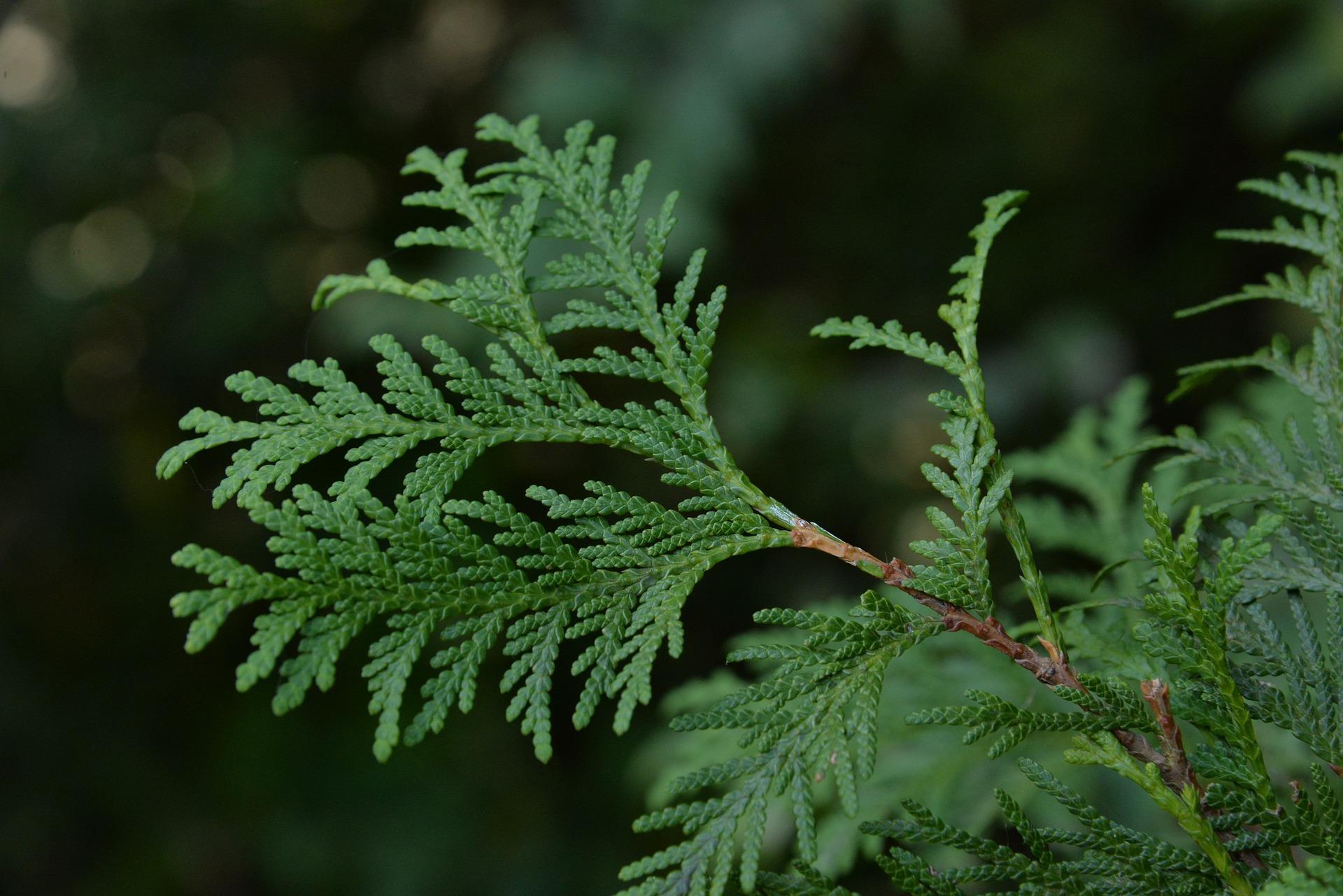 Helårsgrønn sånn som tujaen, ja, den evig-aktuelle tujaen…