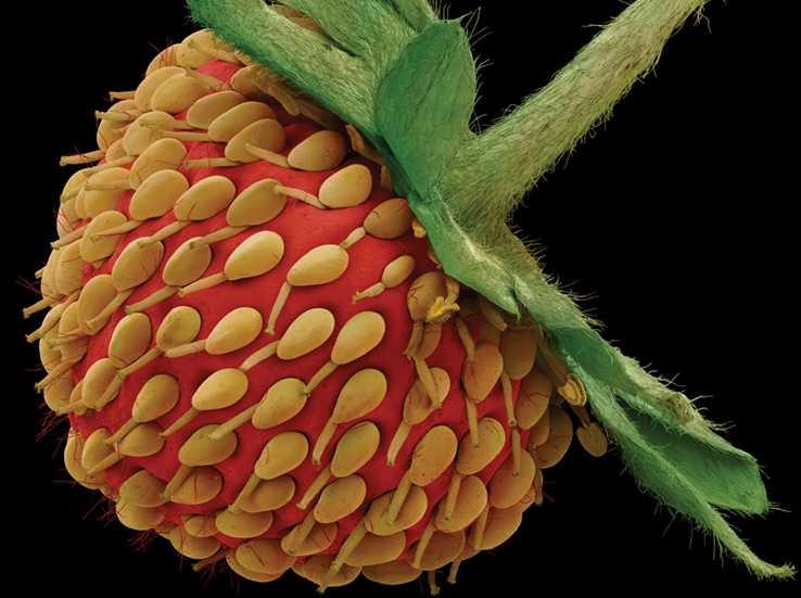 strawberry magnified