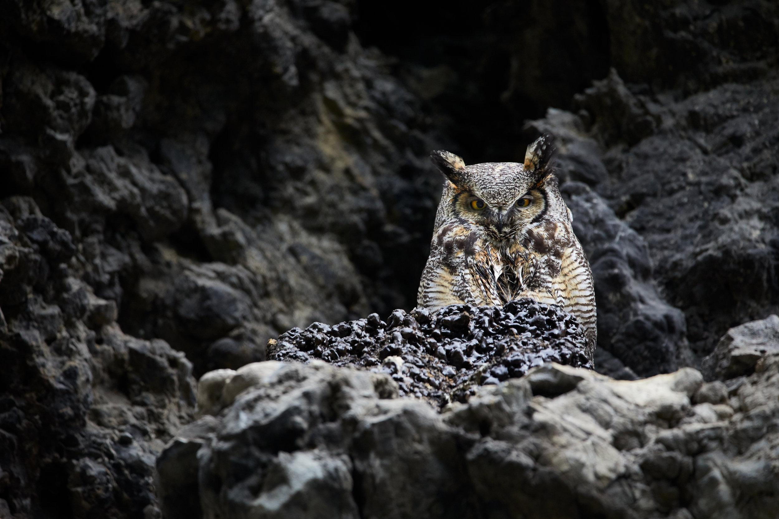 Great-Horned-Owl1.jpg