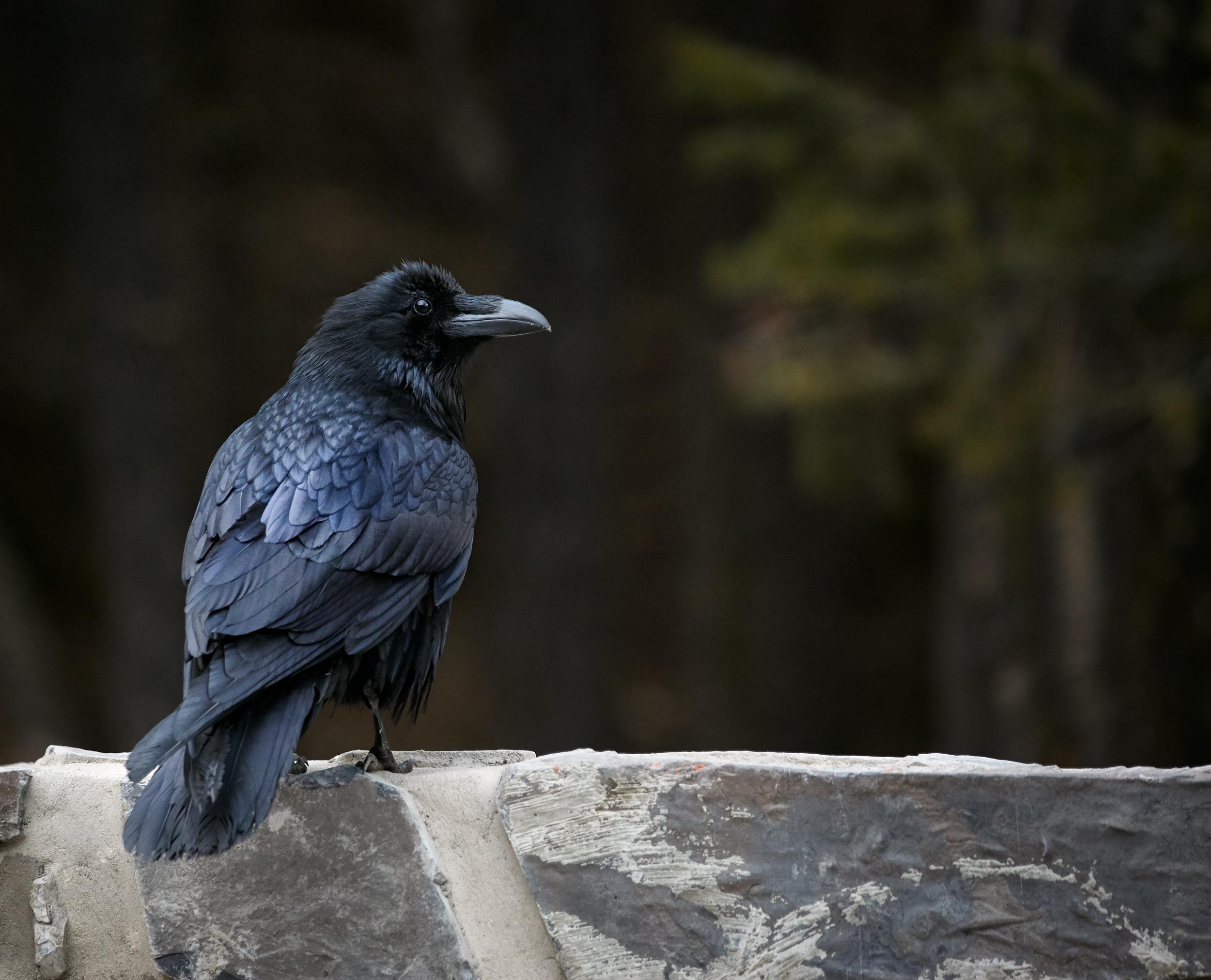 Raven-Norquay.jpg