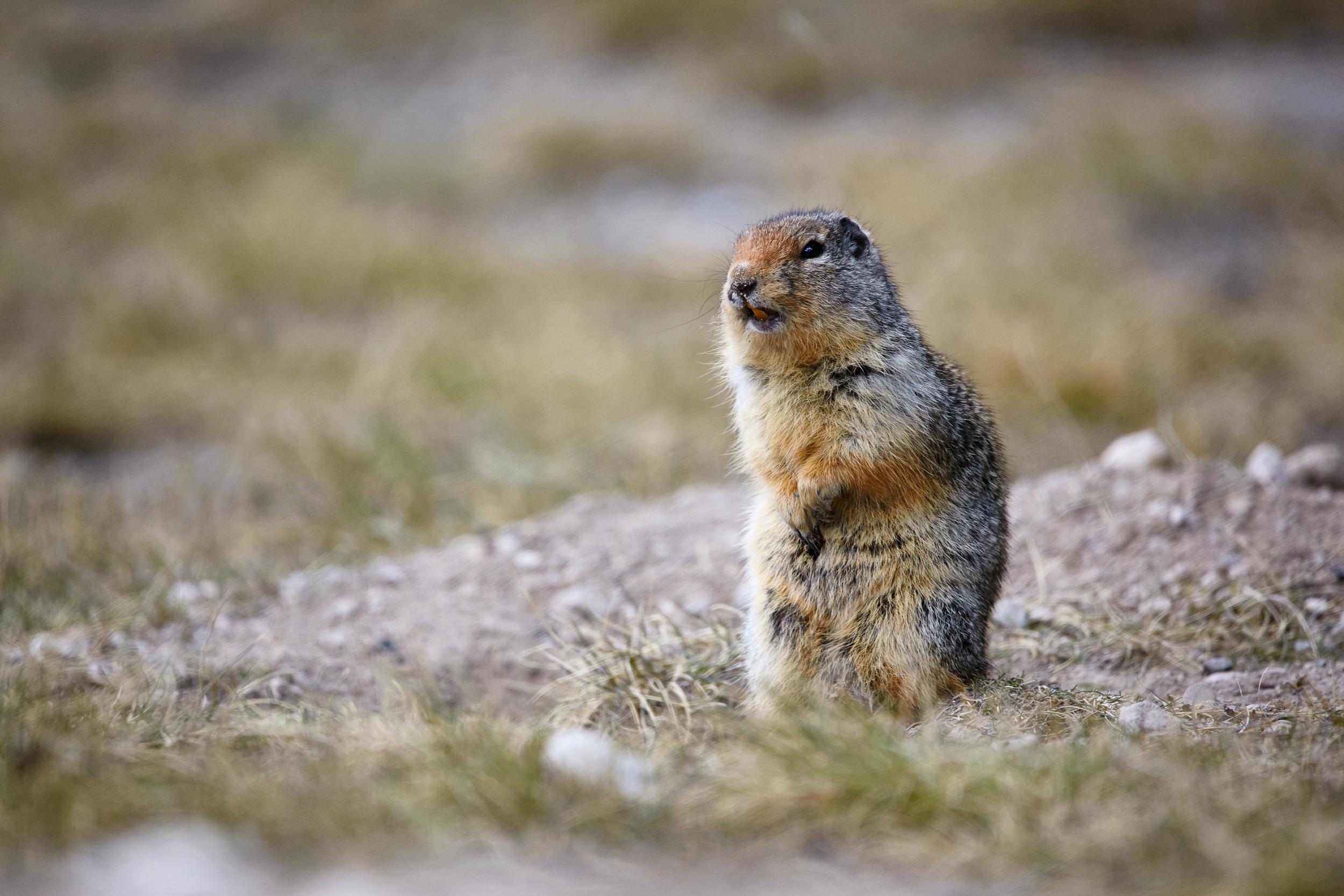 GroundSquirrel.jpg