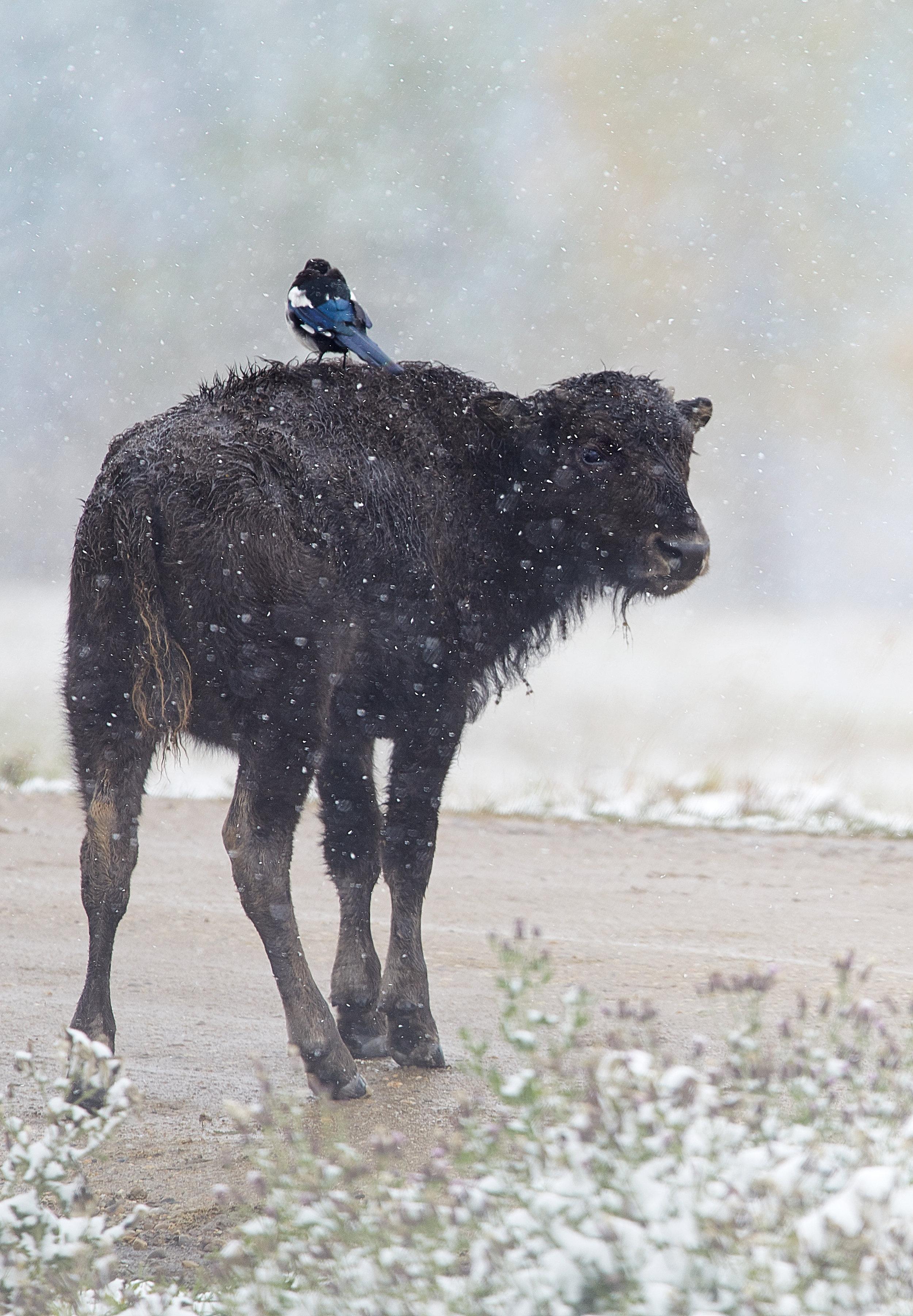 Bison&Magpie.jpg