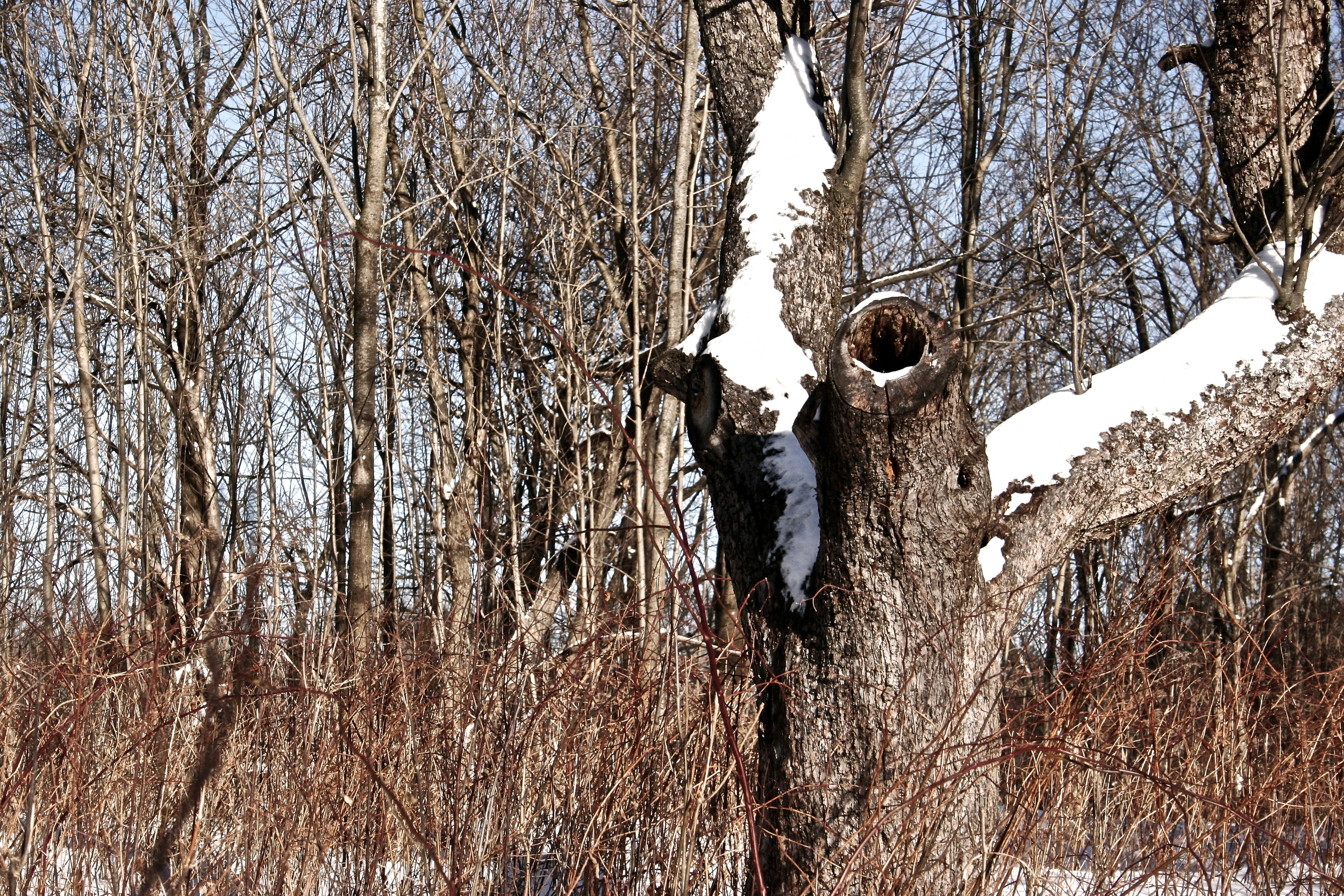 old-tree-in-snow.jpg