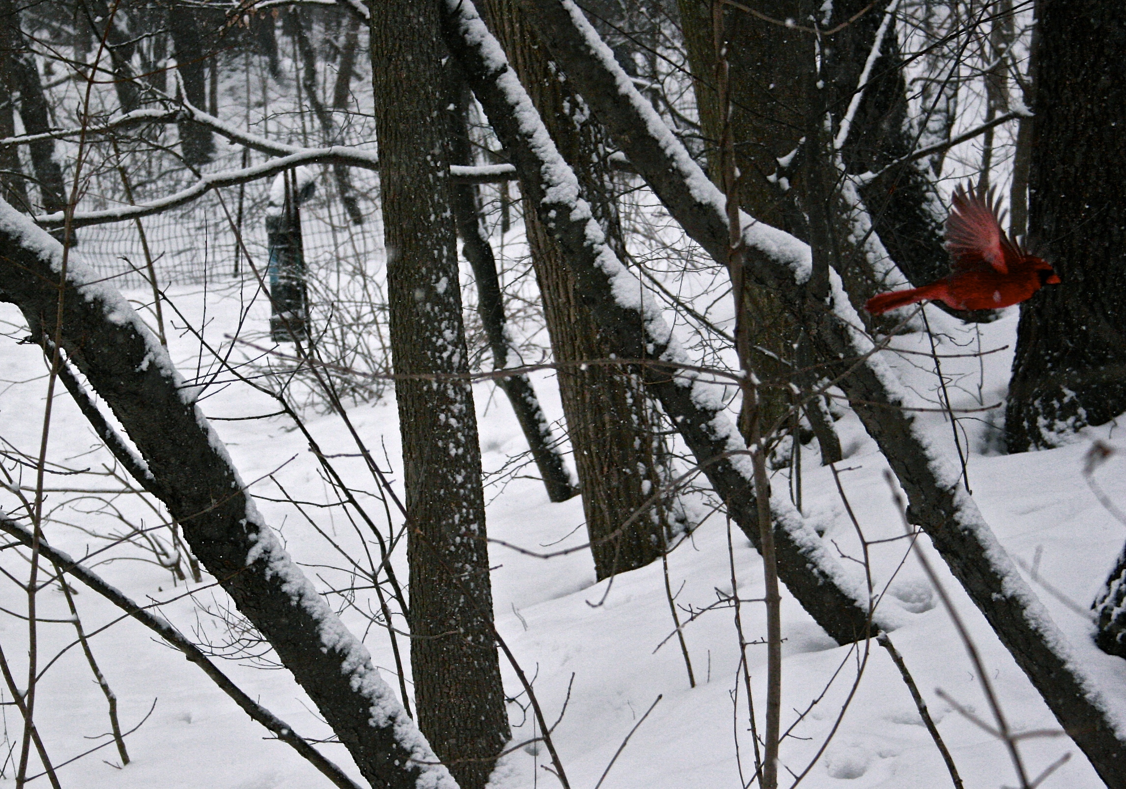 cardinal-flying-in-snow-wbc.jpg