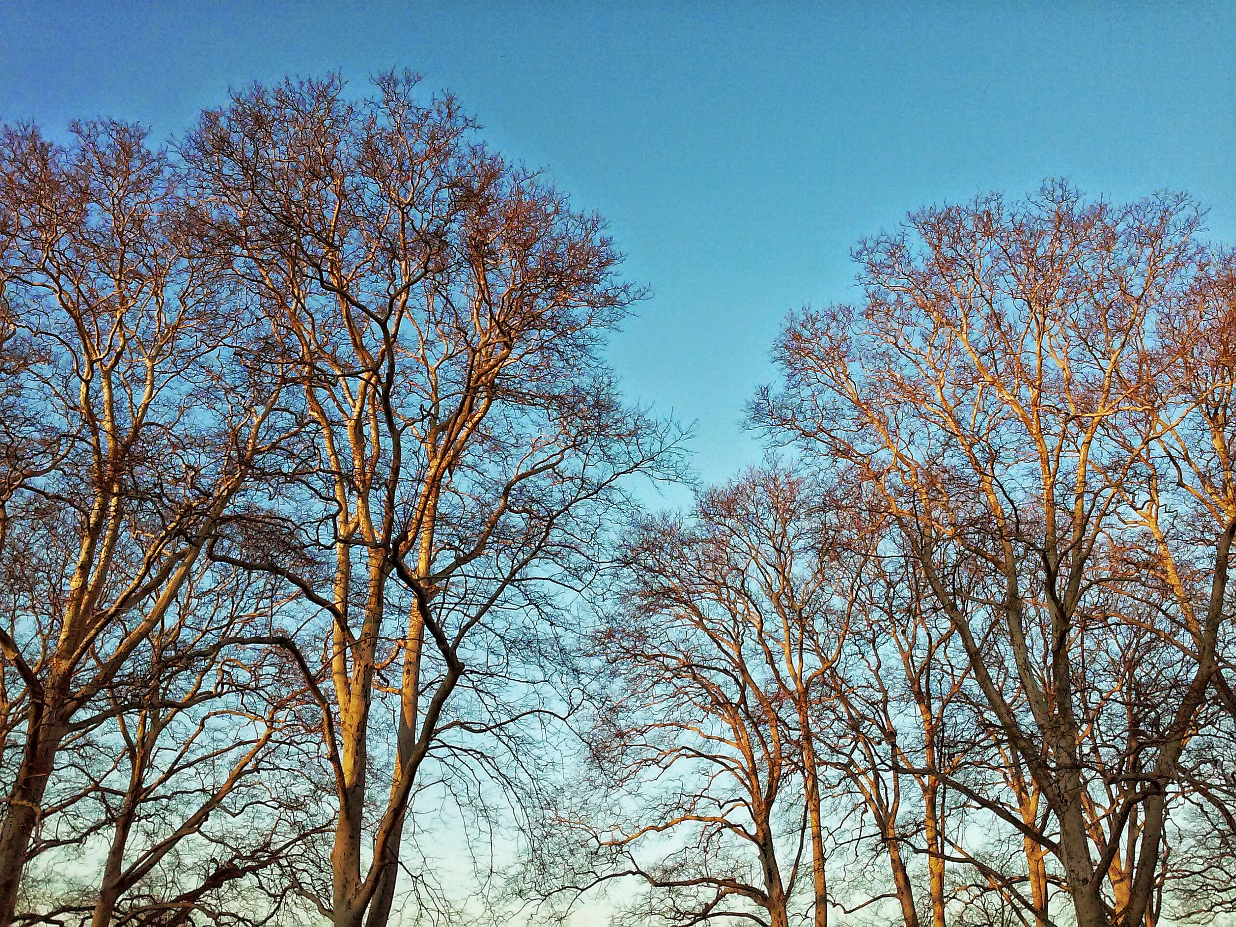 early-morning-london-plane-trees-wbc.jpg