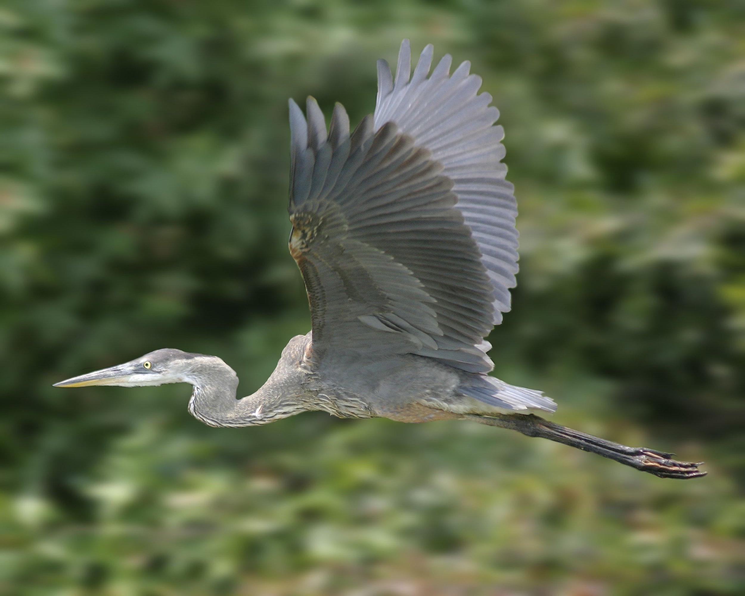Great Blue Heron Image that I am working from.  i spend a lot of time studying my photo for my color selections.  I try to infuse as many colors as I can when painting.  I think it helps to the drama and excitement of the painting.