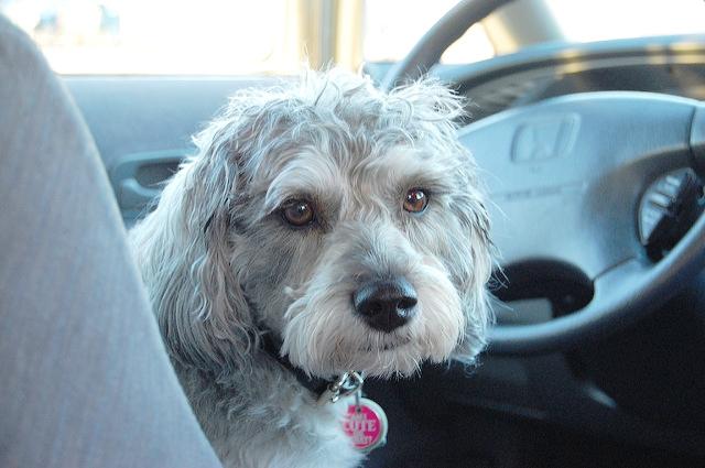 Pet Car Safety Lawyer Michigan