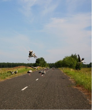 White storks on road near Chernobyl, Ukraine.    Photo Credit: Dr. Tim Mousseau