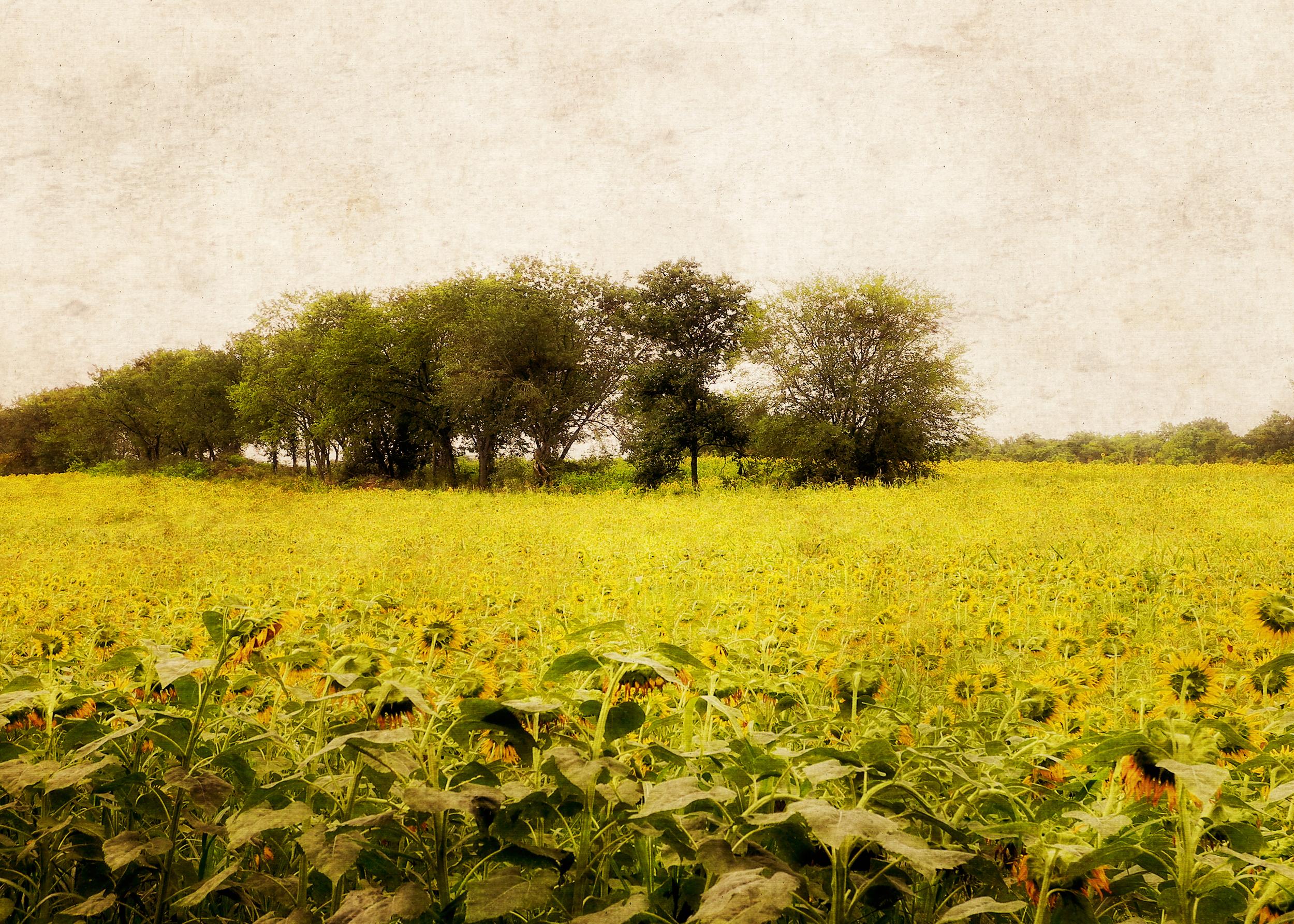 Forever Postcard_Sunflower field 5x7.jpg