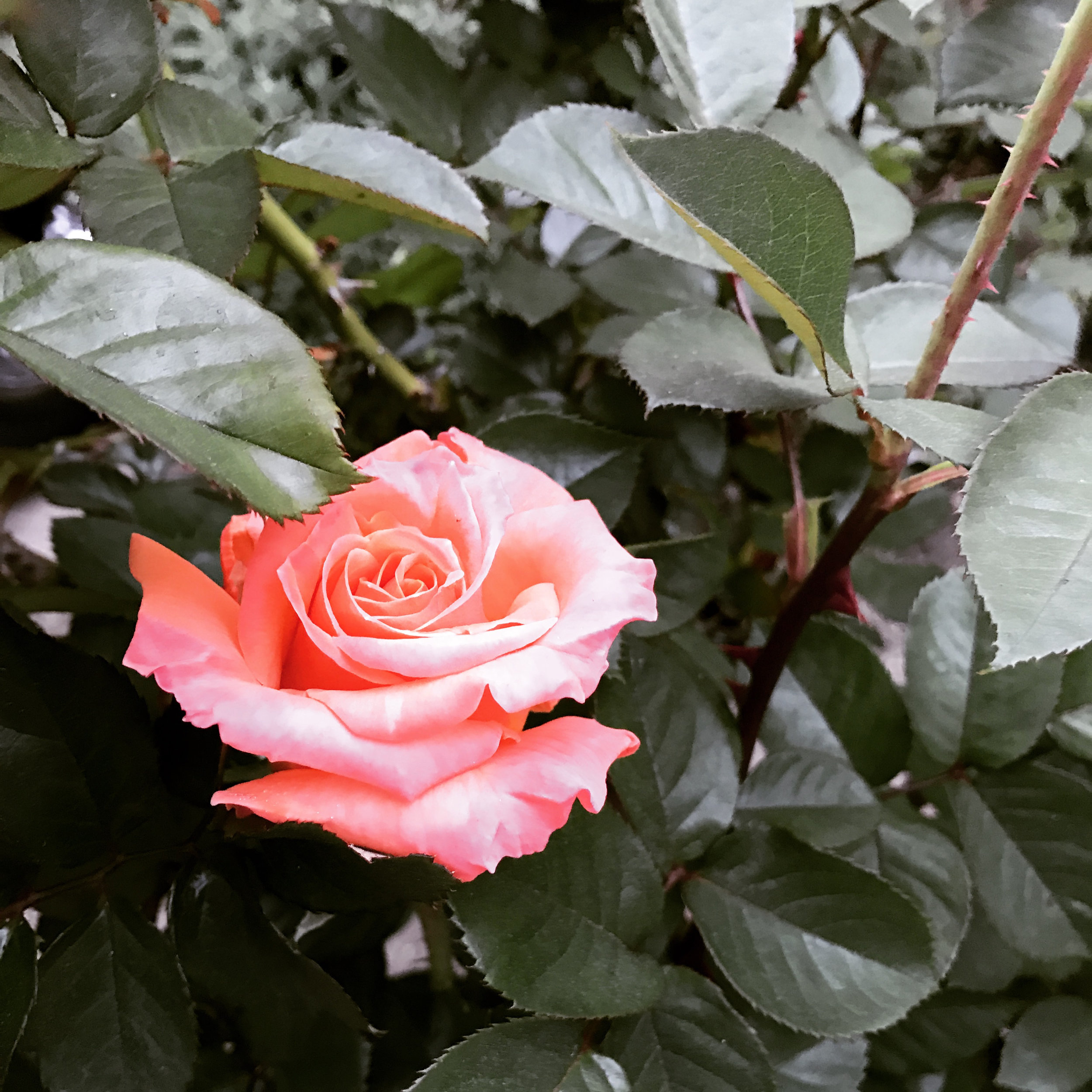 First Rose of Spring.jpg