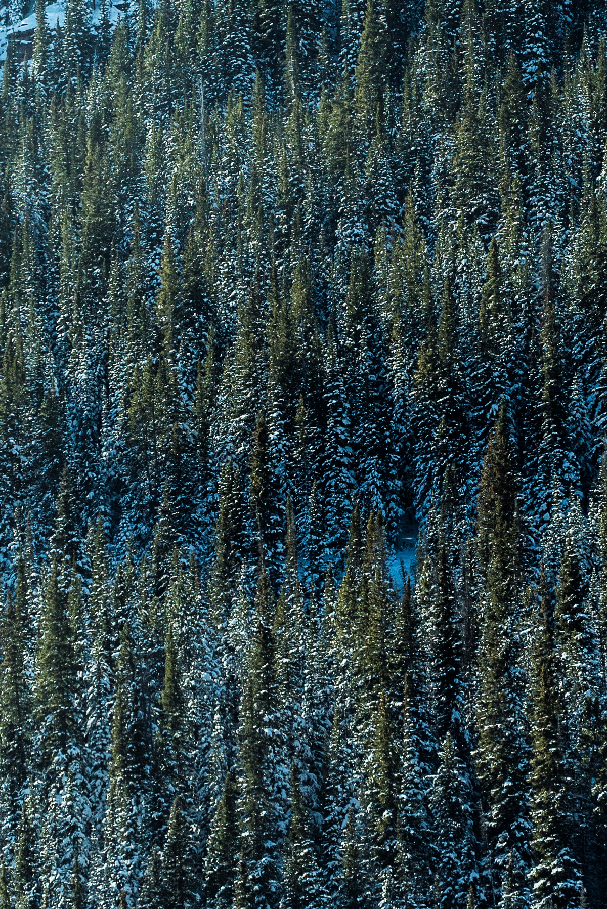 frozen_snow_tree_winter_colorado_alaska_green_branch.jpg