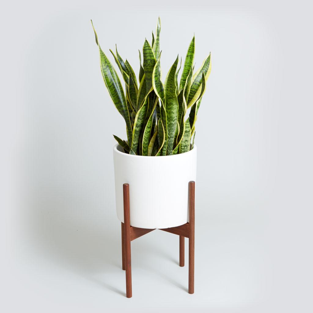 Modernica_nyc_snake_plant_white.jpg