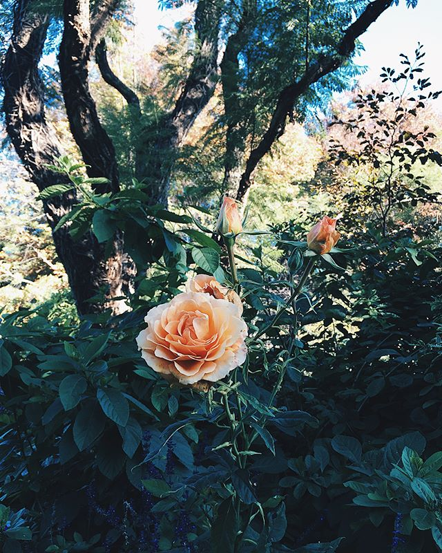"""A stroll in this beautifully lush garden reminded me of one of my favorite quotes, {and of course, of you}: . """"Of course I'll hurt you. Of course you'll hurt me. Of course we will hurt each other. But this is the very condition of existence. To become spring means accepting the risk of winter. To become presence means accepting the risk of absence."""" . ~ Antoine de Saint-Exupéry . . . . . . . . . . . . . . . . #qotd #magicgarden #philosophyoflife #vsconature #johannesburg #introspection #thebeautyofnature #flowerstagram #rosegarden #royalgarden #antoinedesaintexupéry #lifeandlove"""