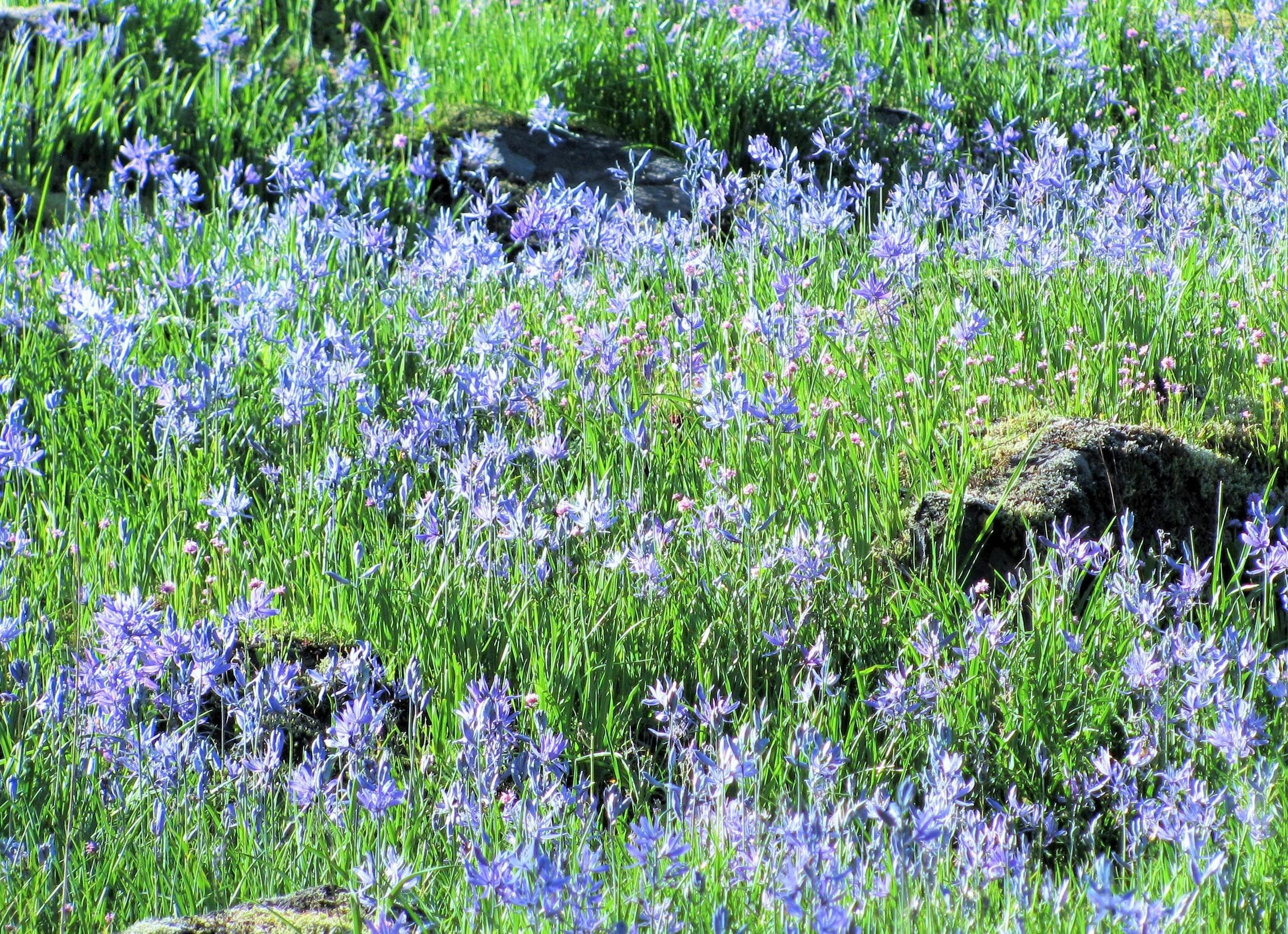 Camas Lilies on Wander Nature