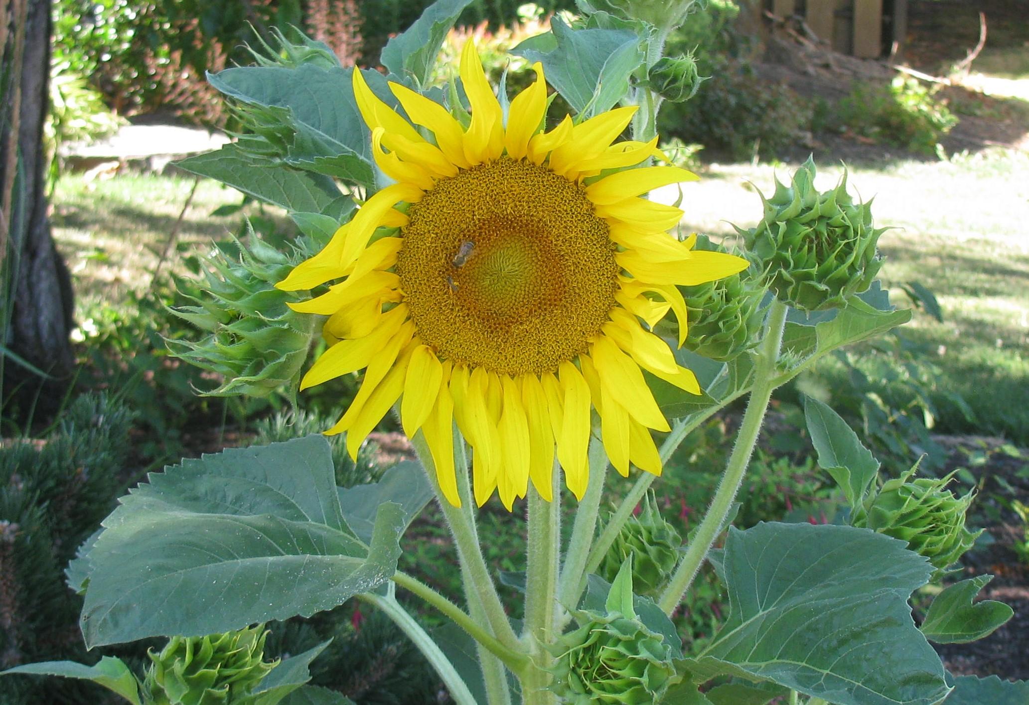 Sunflower on Wander Nature