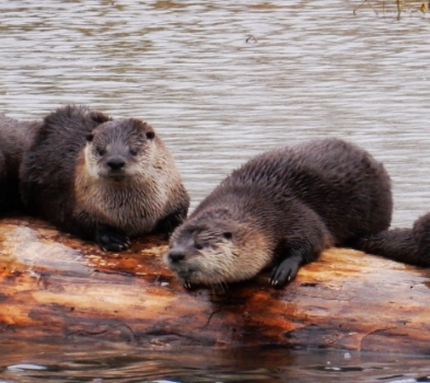 Otters on Wander Nature