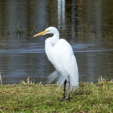 Egret on Wander Nature