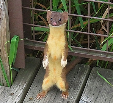 Weasel on Wander Nature