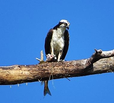 Osprey on Wander Nature