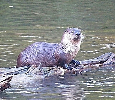 Otter on Wander Nature