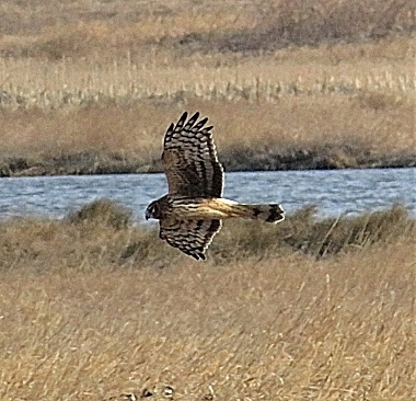 Harrier on Wander Nature