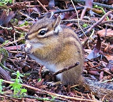 Chipmunk on Wander Nature