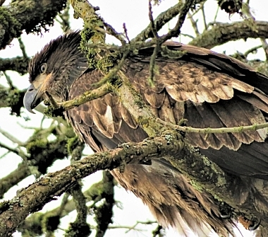 Juvenile Eagle on Wander Nature