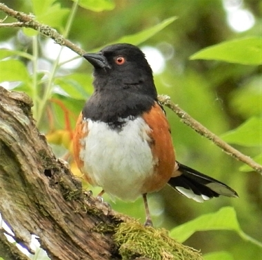 Towhee on Wander Nature