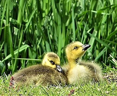 Goslings on Wander Nature