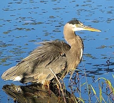 Heron on Wander Nature