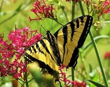 Swallowtail Butterfly on Wander Nature
