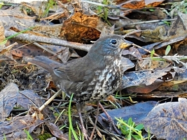 Fox Sparrow on Wander Nature