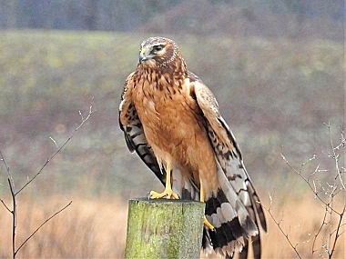 Northern Harrier on Wander Nature
