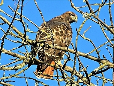 Red-tailed Hawk on Wander Nature